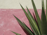 Green Plant against Painted Wall  Cabo San Lucas  Mexico