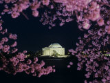 Jefferson Memorial at Night  Seen Through Cherry Blossoms  Washington  DC