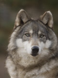 Gray Wolves at the Rolling Hills Wildlife Adventure