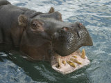 Hippopotamus Bares its Teeth at the Sedgwick County Zoo  Kansas