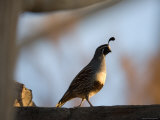 Gambel's Quail at the Omaha Zoo  Nebraska