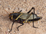 Horse Lubber Grasshopper Ready for Adulthood