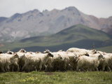 Flock of Sheep  Qinghai  China