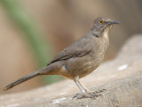 Curve-Billed Thrasher at the Omaha Zoo  Nebraska