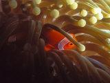False Clown Fish  Amphiprion Ocellaris or Anemonefish  Solomon Islands