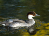 Diving Duck Called a Smew at the Zoo