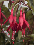 Fuschia Flower  California