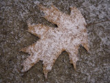 Fresh Snowflakes Highlight a Fallen Leaf