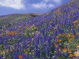Impressionistic Color: Coreopsis  Gilia  California Poppy and Lupine