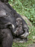 Cute Western Lowland Gorilla Infant Nursed Tenderly by its Mother  Melbourne Zoo  Australia
