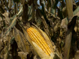 Drought-Damaged Feed Corn near Otoe  Ne