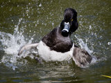 Ring-Necked Duck Swimming  San Diego  California