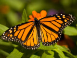 Monarch Butterfly at the Lincoln Children's Zoo  Nebraska