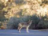 Coyote Patrolling the Furnace Creek Campground  Death Valley  California