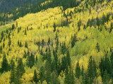 Fall-Colored Aspens in San Juan Mountains near Telluride  Colorado