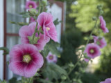 Hollyhocks Bloom in Greenleaf Kansas