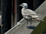 Lone Seagull Standing on Wood Rail of a Pier