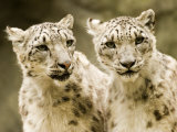 Portrait of Two Captive Snow Leopards