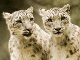 Portrait of Two Captive Snow Leopards