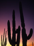 Saguaro Cactus Are Silhouetted by an Arizona Sunset