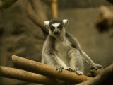 Ring-Tailed Lemur from the Omaha Zoo  Nebraska