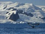 Humpback Whale Shows its Fluke  Paradise Bay  Antarctica