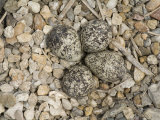 Kildeer Eggs Aglong Little Salt Creek in Lincoln  Nebraska