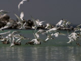 Elegant Terns at Rasa Island  Baja California  Mexico