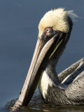 Portrait of a Brown Pelican  Sanibel Island  Florida