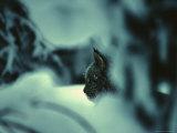 Lynx in Snowy Forest  Alaska