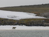Polar Bear Walking on Snow Covered Beach  Svalbard Islands  Norway