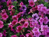Pink Petunias