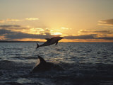 Dusky Dolphins