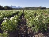 Potato Fields in Matanuska Valley and the Chugach Mountains  Alaska