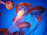 Fleet of Golden  Long-Tentacled Jellyfish  California
