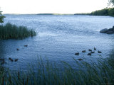 Ducks Swim Along the Edge of Leech Lake in Minnesota