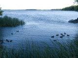 Ducks Swim Along the Edge of Leech Lake in Minnesota