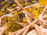 Juvenile French Angelfish Among French Grunts and Cottonwicks  Cozumel  Mexico