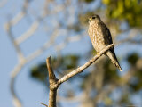 Portrait of a Merlin Perched on a Branch  Sanibel Island  Florida