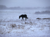 One Horse Walking Along in Winter Snow Storm  Kansas