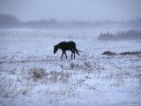 One Horse Walking Along in Winter Snow Storm  Kansas