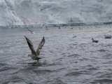 Large Group of Seagulls at Arctic Ocean  Svalbard Islands  Norway
