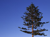 Norfolk Pine Tree  Ventura  California