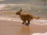 Dog Runs on the Beach  Hawaii
