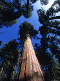 Looking Up at a Giant Sequoia Tree in the Sierras  California