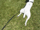 Dog on Leash Resting on Grass Lawn  Santa Barbara  California