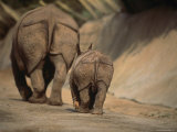 Indian Rhinoceros and Her Baby at a Zoo  San Diego  California