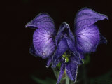 Monkshood Grows in Alaskan Coastal Rainforest