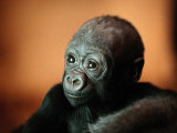 Infant Gorilla in a Zoo