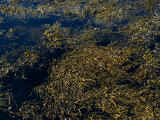 Knotted Wrack Seaweed Floating Atop the Water  Groton  Connecticut